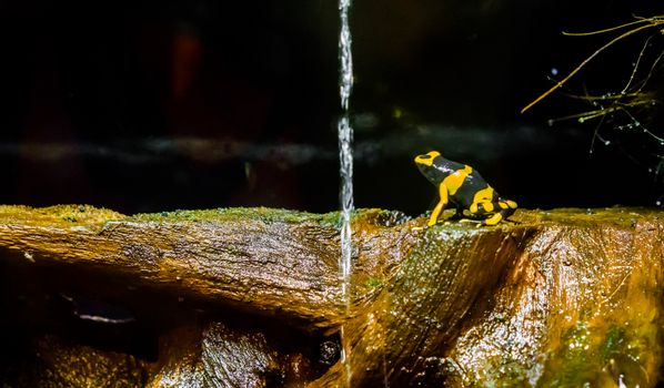 yellow banded bee poison dart frog a extreme poisonous and dangerous amphibian from america