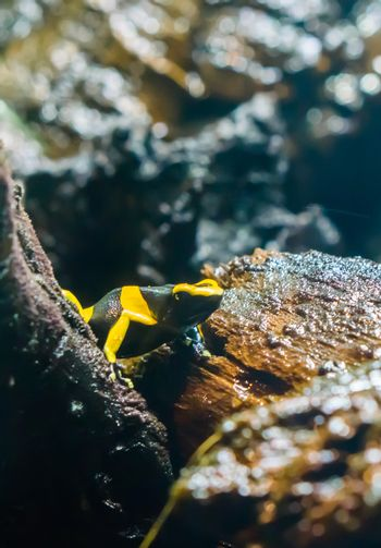 black yellow striped poison dart bee frog in macro closeup a very dangerous amphibian animal from america