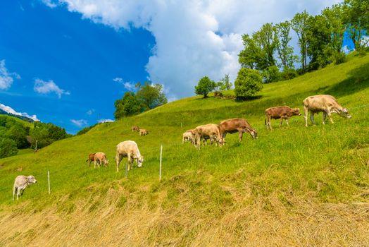 Brown cows eating grass in Alps village, Grabs, Werdenberg, St. Gallen Switzerland