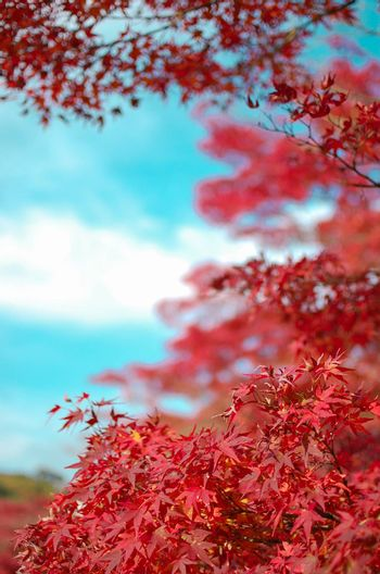Red Leaf ''Momiji''. Fall is very colorful season of Japan. Fall Season of Kyoto is very good timing to see Japan.