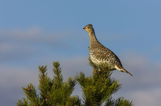 Sharp Tailed Grouse in Tree