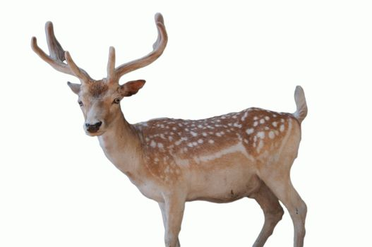 wildlife christmas animal portrait a cute dotted deer with antlers isolated on white background
