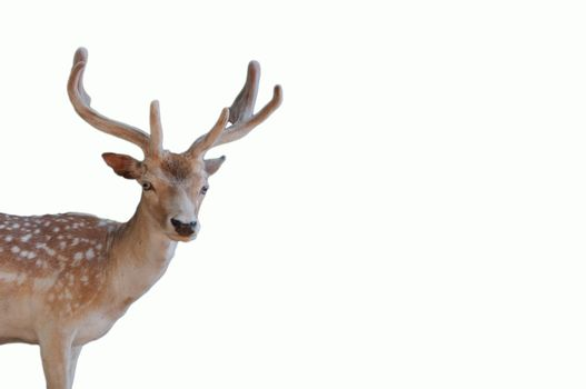 Wildlife christmas animal portrait of a deer head with antlers isolated on a white background