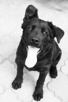 black small dog. photo. black and white