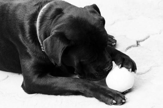 black dog cane corso. photo. black and white