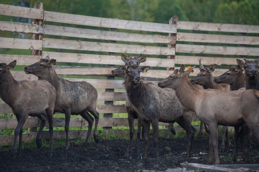 marals on farm in Altay