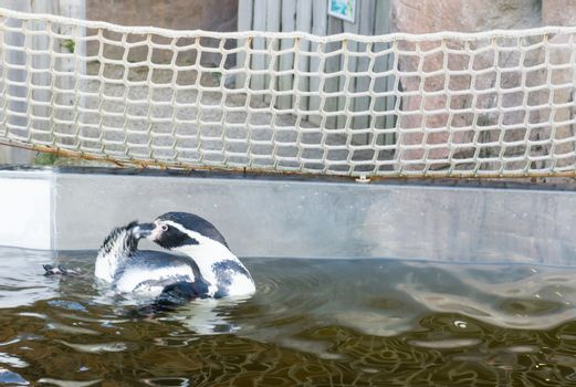 humboldti penguin black and white colored penguin swimming in the water