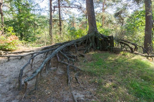 bare big tree roots branches off from a tree trunk far above the ground in a forest landscape scenery