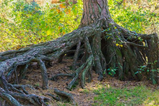 Enormously big bare tree roots above the ground in a forest landscape scene