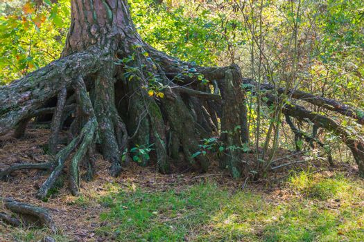 bare rooted tree with large roots above the earth in a forest landscape scenery