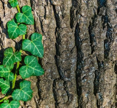 tree bark pattern with ivy growing on the tree trunk a macro closeup forest nature background