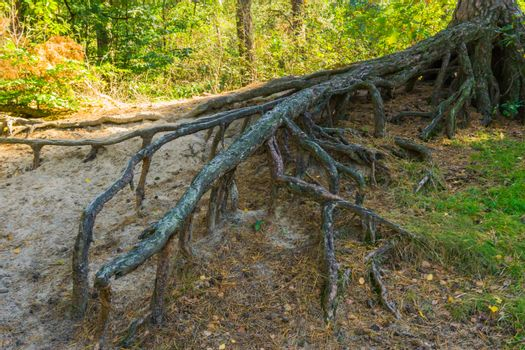 big bare branched off tree roots growing far above the ground