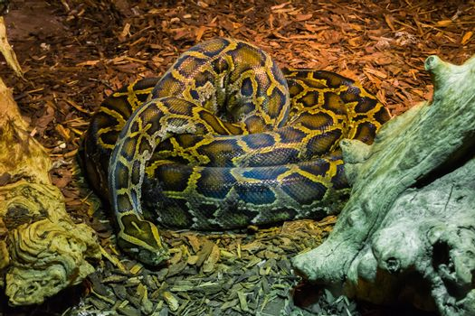 coiled up big python snake laying on the ground tropical wildlife animal portrait