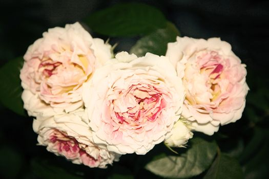 white and pink rose on summer. photo. background