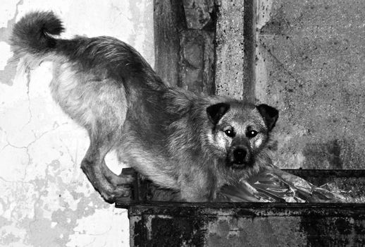 homelless dog is looking for food. photo. black and white