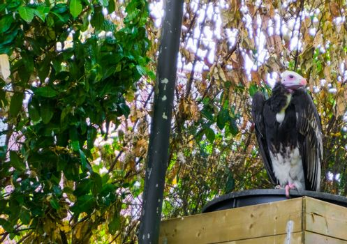 white headed vulture bird from the old world of vultures critically endangered species