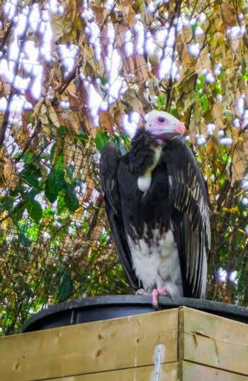 closeup portrait of a white headed vulture a critically endangered specie from the old world of vultures