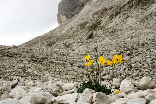 Dolomite's yellow flowers