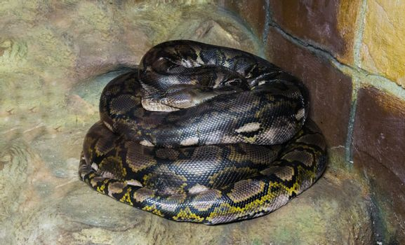 coiled up reticulated python worlds longest snake there is, a dangerous big constrictor and predator that is even capable of eating humans