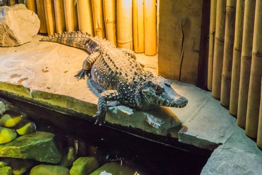 african dwarf crocodile also know as the bony or broad snouted crocodile a wild animal from africa