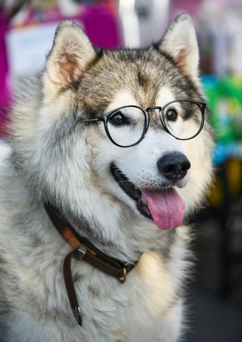 Siberian Husky wears glasses sitting on a white chair.