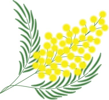 branch of mimosa for gift on March 8. isolate vector.