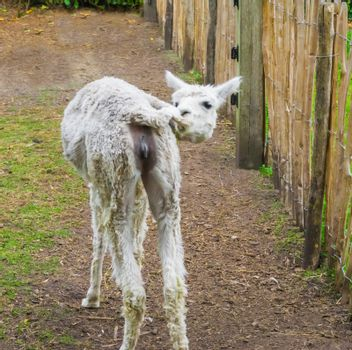 White llama pulling her tail showing off her female genitals exhibitionist animal behavior