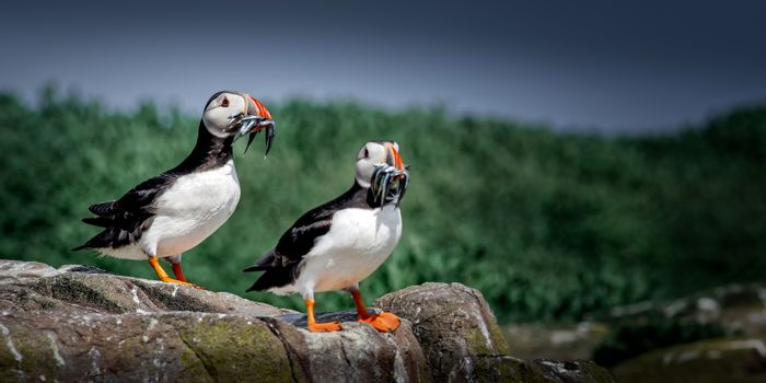 Atlantic Puffin (Fratercula arctica) with Sandeels in their colo