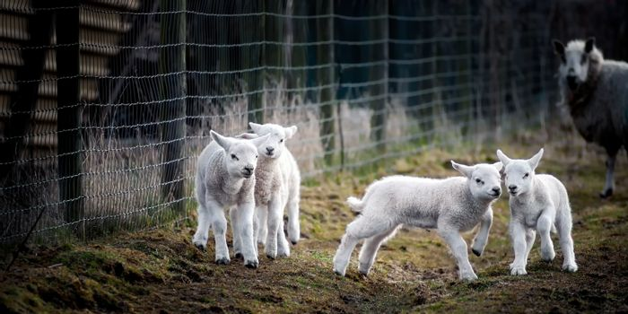 Lambs at Play, Watched by a Mother