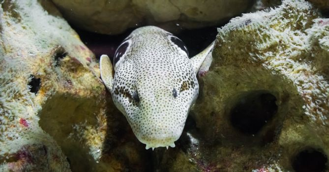 brown spotted white moray eel with dracula teeth, sneaking from behind some rocks under the water, the serpent of the indo pacific ocean