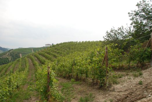 Vineyard on the hills of Barolo, Piedmont - Italy