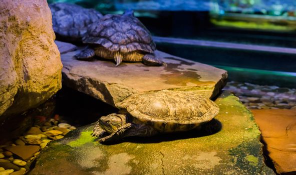 cumberland slider turtle laying on a rock with two other turtles in the background, a tropical pet from America