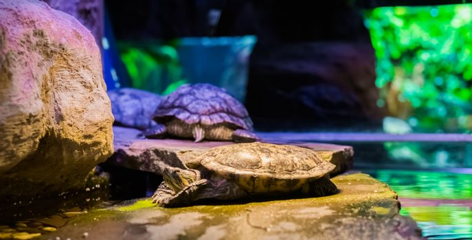 closeup of a cumberland slider turtle laying on a rock with two other turtles in the background, a tropical reptile from America