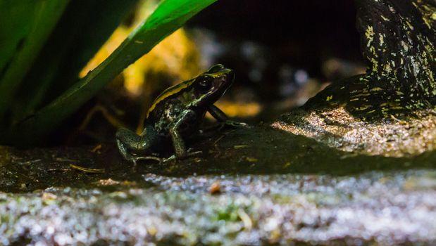 Golfodulcean poison dart frog, A endangered amphibian specie from Costa Rica