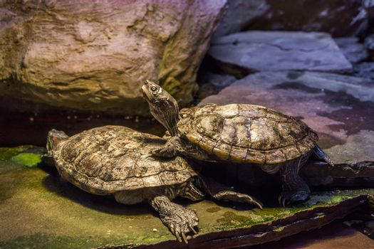 Cumberland slider turtle standing on another turtle and putting his head up high