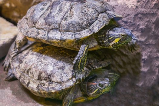 two turtles in close one lying on top of the other funny animal behavior