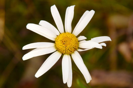 White chamomile closeup. Flower isolated from dark blurred background.