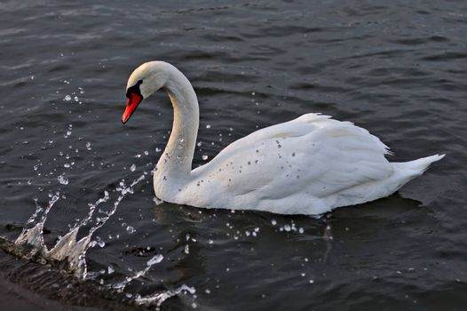 White male mute swan with water splash from the wave