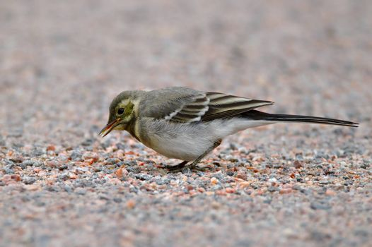 Small bird looking for food on the gravel sidewalk in urban area.