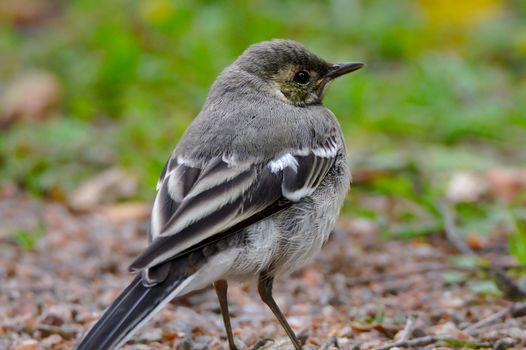 Cute small bird jumping around in the garden.