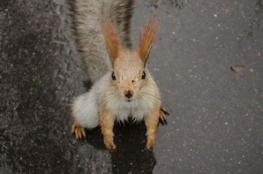 Squirrel on the rainy road