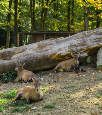 cute family of brown mountain goats sitting together in the sand