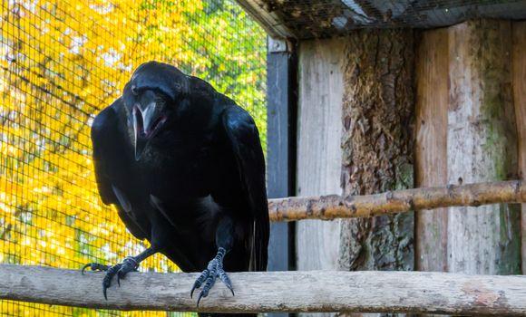 big black raven with his beak opened, a creepy mythological bird