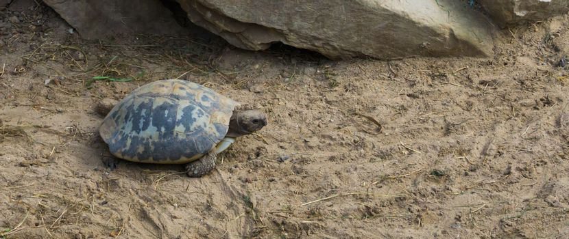 elongated turtle walking through te sand, a endangered tropical reptile from india