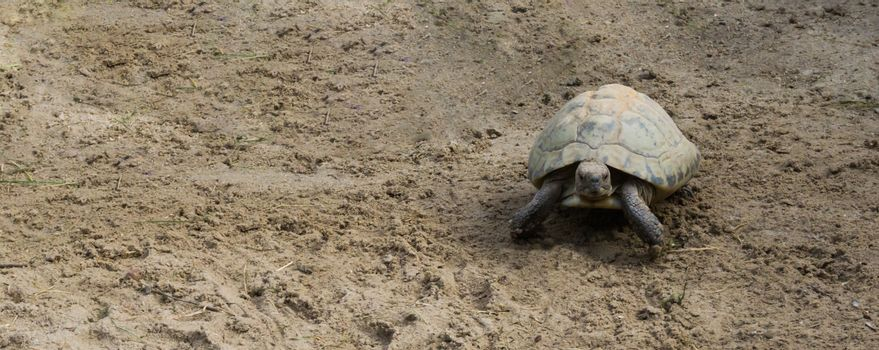 elongated turtle walking in the sand and looking towards camera