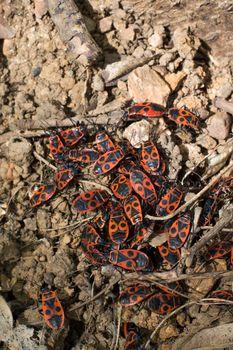The firebug, Pyrrhocoris apterus, insect of the family Pyrrhocoridae