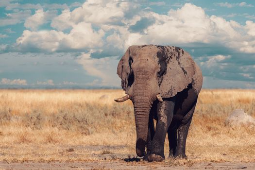 Majestic African Elephant in Savuti, Chobe National Park, Botswana safari wildlife