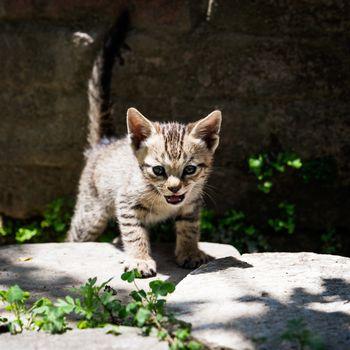 Tabby kitten in the sunlight