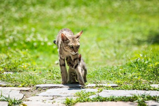 Mother cat walking with its kitten walking underneath her