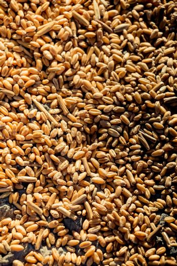 Lots of yellow wheat grains on the view forming a textured background